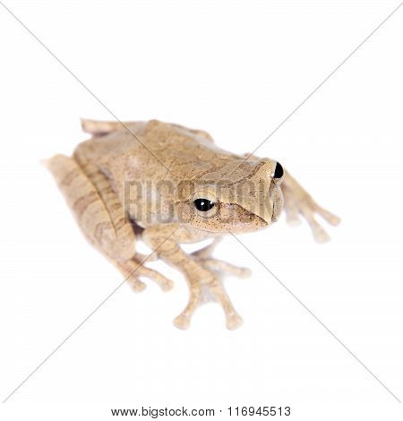 Hoanglien flying frog isolated on white