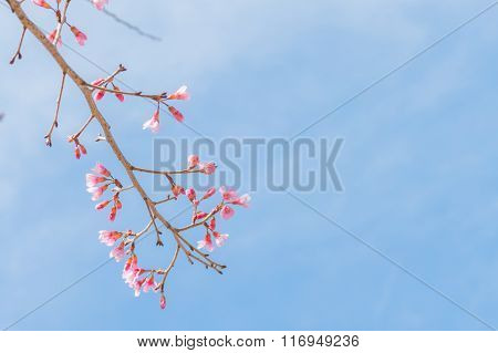 Sakura, Spring Cherry Blossom With Soft Background.