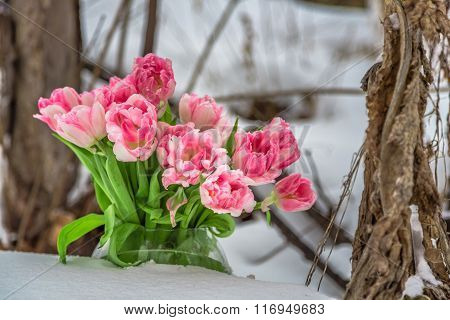 Fresh pink and white tulips next to the dry plants