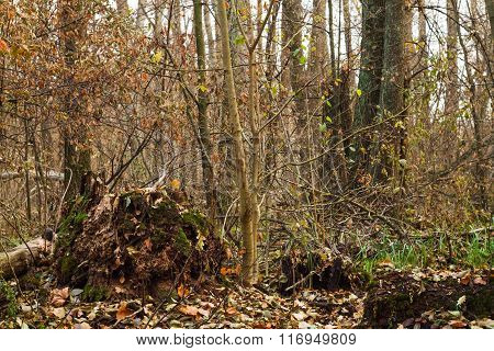 Stump, Roots And Branches In The Old  Forest