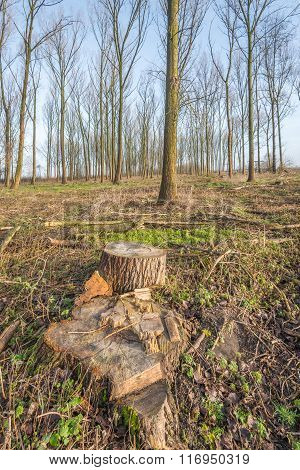Tree Stumps After Felling Mature Trees