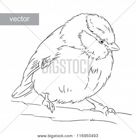 Blue Tit on a branch Parus caeruleus vector