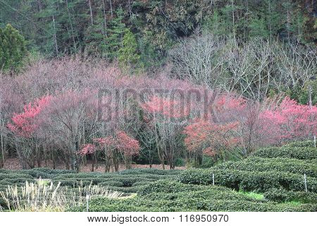 Pink cherry blossoms and tea plantation