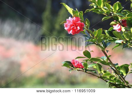 Red Camellia flowers