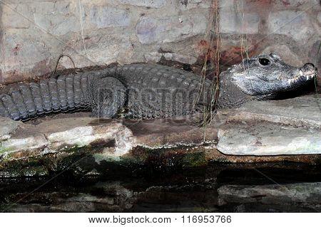 Dwarf Crocodile