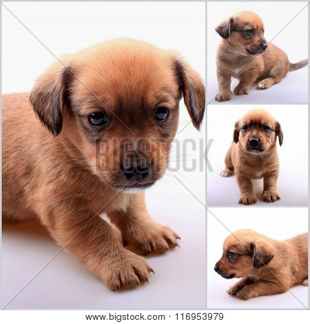 Collage Of Small Cute Dachshund Puppy