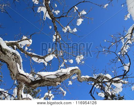 Snow Blossoms on Tree Branches