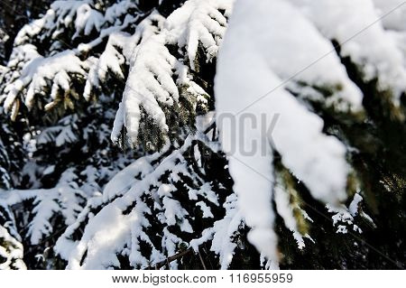 Pine Branches Loaded After Heavy Snowfall