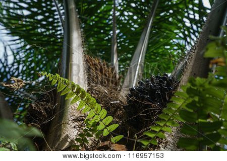 Image of palm with black berries. Phuket, Thailand