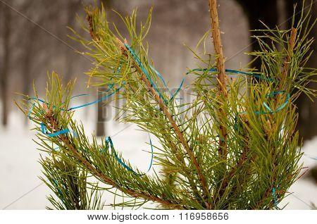 Fir Branch Outside In Winter