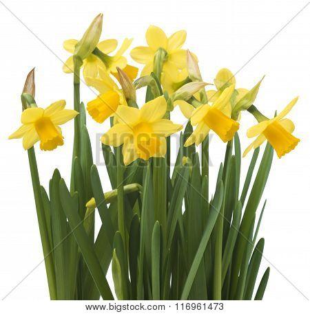 Beautiful fresh narcissus flowers, isolated on white background