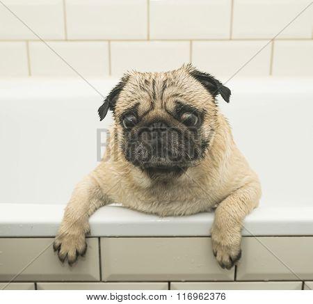Wet pug in the bathroom