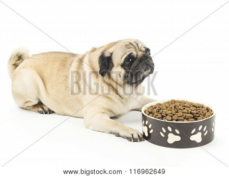 Close-up of Pug