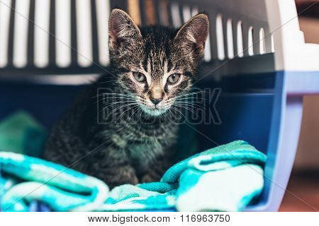 Pensive Tabby Kitten Inside Cat Carrier Box