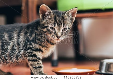 Little Tabby Kitten Standing Over Its Food