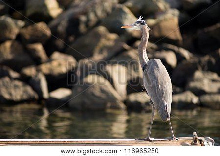 Great Blue Heron Wild Bird Animal Wildlife Dock Marina