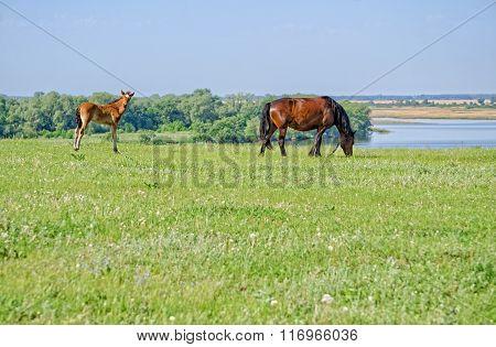 Horses graze near the river.
