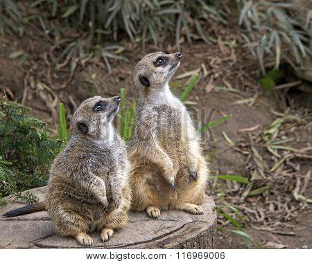 Two Meerkats On A Tree Stump