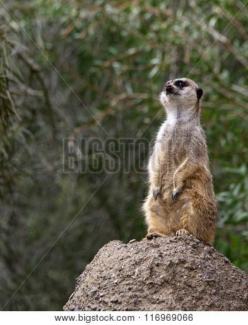 Single Meerkat Standing On A Rock Looking Out For Predators.