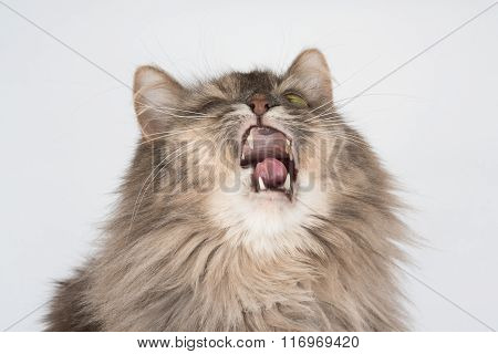 Cat Sneezes Making Funny Expression. Sick Cat Needs Treatment