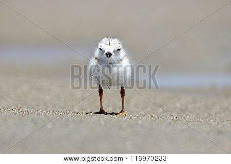 Little Piping Plover