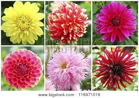 Collage with dahlia flowers in the garden.