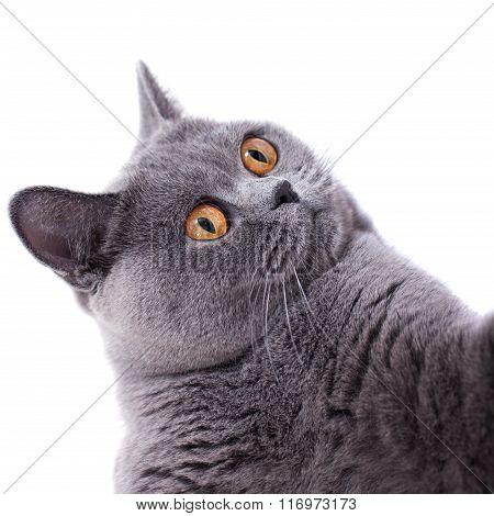 Gray Shorthair British Cat