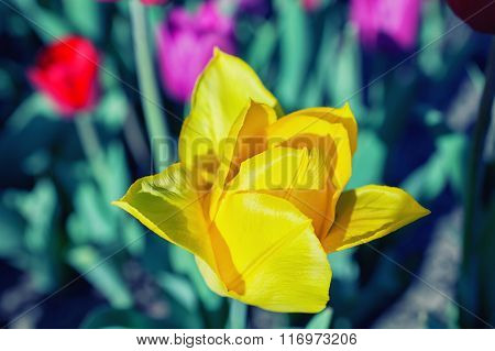 Yellow Tulip Flower