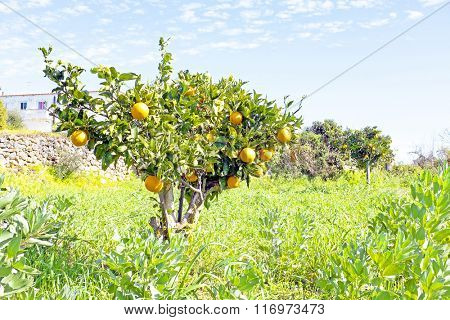 Orange grove in the countryside from Portugal