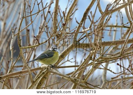 The Eurasian Blue Tit bird (Parus Caeruleus) perching on a branch with curious face during the Winter in Europe