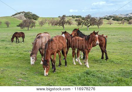 Santa Ynez Horses