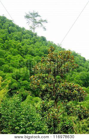 Magnolia and Bamboo Trees