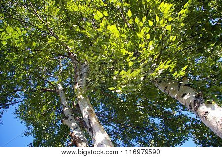 wind in the leaves of a birch