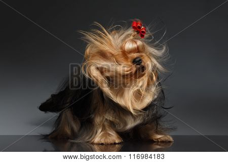 Yorkshire Terrier Dog Shaking His Head On Black Mirror