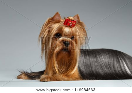 Groomed Yorkshire Terrier Dog Lying On White