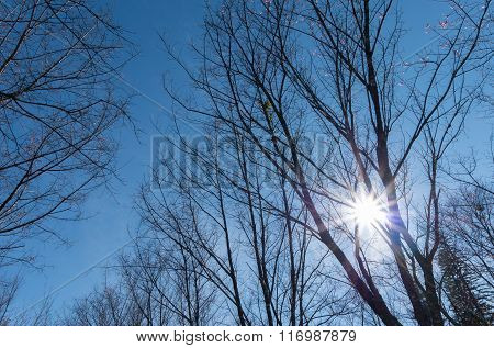 Fall Sun Shining Through Canopy Of Wild Himalayan Cherry (prunus Cerasoides) Trees In The Park With