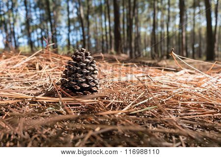 Close-up Pine Cone on the needles ground in Coniferous forest