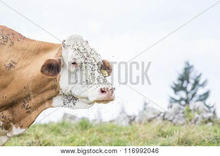 Face Of A Cow Bothered By Flies