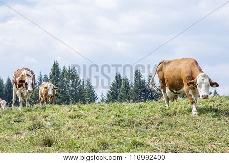 Herd Of Cows Approaching Along The Pasture