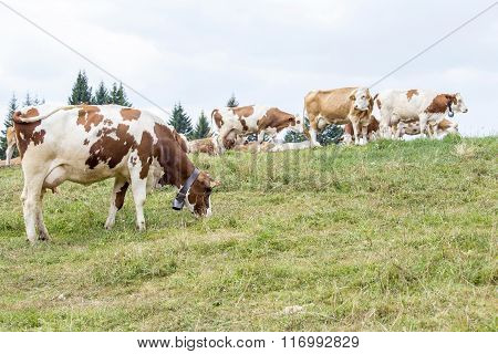 Alpine Pasture With Cows Grazing