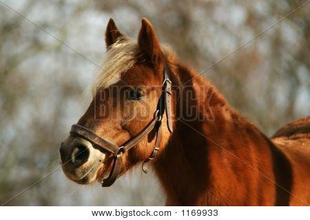 Horse Haflinger