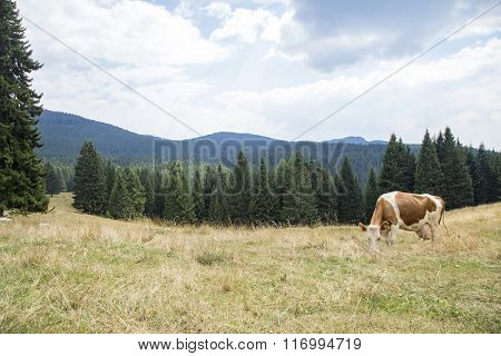 Brown And White Cow Grazing