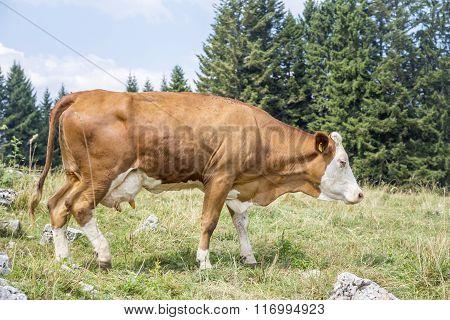 Brown Cow Walking On An Alpine Pasture