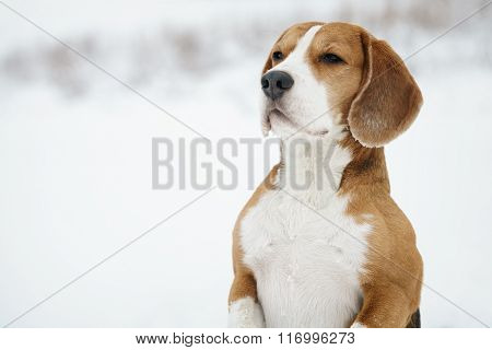 funny beagle dog outdoor funny portrait in winter