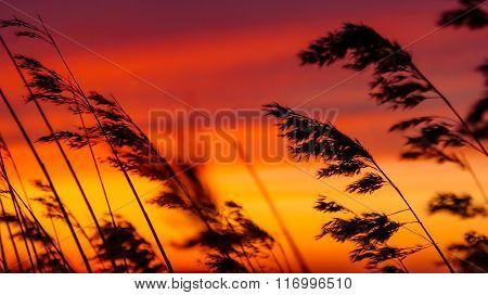Silhouette Of Reed Flowers Against A Beautiful Sunset