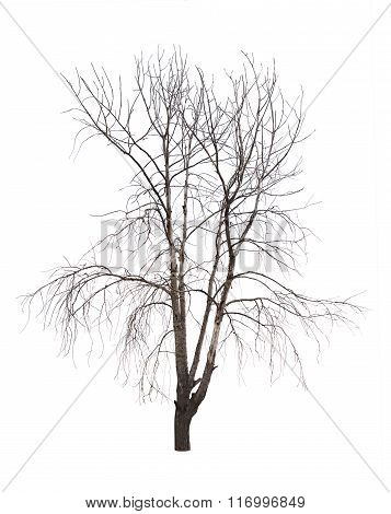 Bare tree isolated over white