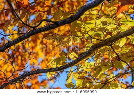 Yellow Leaves With Tree Branches Over Blue Sky. Background With Autumn Leaves, Photo Of Sky Through