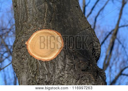 Background Of Black Autumn Tree Trunk. Tree Trunk With Circle Cutted Bark And Branches Over Clear Bl