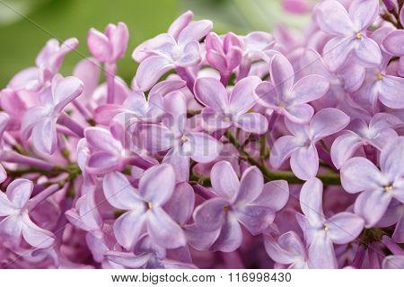 lilac flowers macro photo