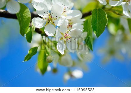 Flowers Bloom On A Branch Of Pear Against Blue Sky